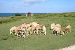 Sheep grazing, Rodrigues Island Royalty Free Stock Photos
