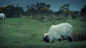 Sheep Grazing On Rugged Windy Hilltop. Ewe grazes as her lamb moves about nearby on a stormy day stock video
