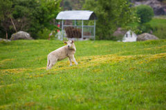 Sheep grazing in Scandinavia Stock Photo