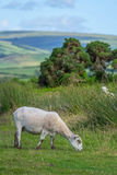 Sheep grazing after shearing. Exmoor. Royalty Free Stock Photos