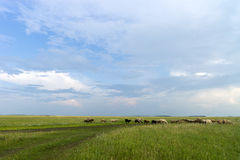 Sheep grazing. sheep in the pasture. Stock Photos