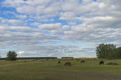 Sheep grazing. sheep in the pasture. Royalty Free Stock Photography