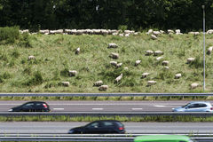 Sheep grazing on the side of the highway Stock Photo