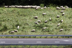 Sheep grazing on the side of the highway Royalty Free Stock Image