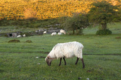 Sheep grazing in Sierra Salvada mountains Royalty Free Stock Images