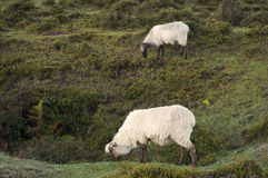 Sheep grazing in Sierra Salvada mountains, Spain Stock Photo