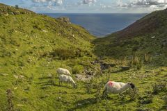 Sheep grazing at Slibh Liag, Co. Donegal.  royalty free stock images