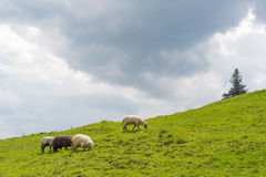 Sheep grazing on the slopes of Ukrainian Carpathians. The sheep that graze on the slopes of Ukrainian Carpathians. Against the background of the sky Stock Photos