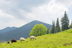 Sheep grazing on the slopes of Ukrainian Carpathians. The sheep that graze on the slopes of Ukrainian Carpathians. In the background is seen the high mountains Royalty Free Stock Images