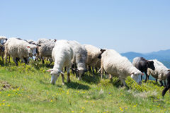 Sheep grazing on the slopes of Ukrainian Carpathians. Sheep graze on the slopes of the Ukrainian Carpathians. In the background are visible mountains Royalty Free Stock Photos