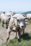 Sheep grazing on the slopes of Ukrainian Carpathians. The sheep that graze on the slopes of Ukrainian Carpathians. On the neck of every authentic sheep bell Royalty Free Stock Image