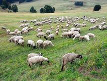 Sheep grazing on Slovak meadow Stock Image