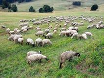 Sheep grazing on Slovak meadow stock image