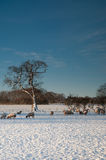 Sheep Grazing in the Snow Royalty Free Stock Images