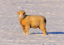 Sheep Grazing in the Snow Royalty Free Stock Photo