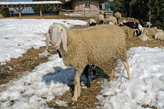 Sheep grazing in the snow in search of grass Stock Images