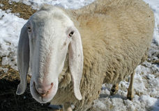 Sheep grazing in the snow in search of grass Royalty Free Stock Photos