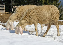 Sheep grazing in the snow in search of grass Stock Photography
