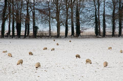 Sheep grazing in a snowy field Stock Photography