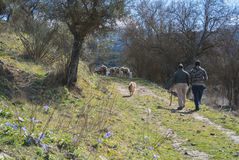 Sheep grazing on a spring day. Up on the road in Ronda, Malaga province, Andalusia, Spain Royalty Free Stock Image