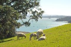 Sheep grazing spring grass Stock Photo