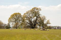 Sheep grazing in a springtime meadow in the English countryside. A springtime landscape scene with some sheep in the United Kingdom Royalty Free Stock Photography
