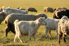 Sheep grazing in the steppes of Kalmykia Royalty Free Stock Photography