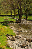 Sheep Grazing by the stream at Brotherswater Stock Images