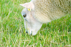 Sheep Grazing. A sheep grazing on a summers day Royalty Free Stock Images