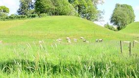 Sheep grazing stock video footage
