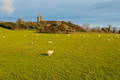 Sheep grazing in a sunny grassy field underneath an old castle tower in Ireland royalty free illustration