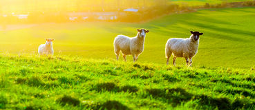 Sheep Grazing at Sunset. In a field in Somerset, England Stock Photos