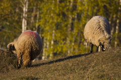 sheep grazing at sunset Stock Images