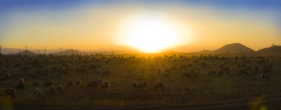 Sheep grazing at sunset. These sheep roam freely in a southern California valley as the sun sets stock images