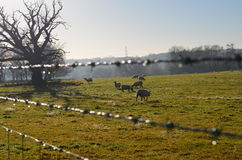 Sheep grazing in Sussex field Royalty Free Stock Image