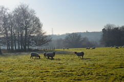 Sheep grazing in Sussex field Royalty Free Stock Images
