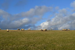 Sheep grazing in Sussex field Stock Image
