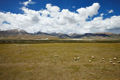 Sheep grazing on Tibetan Plateau plains Stock Photography