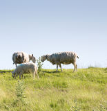 Sheep grazing on the top of a hill Royalty Free Stock Photo