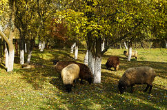 Sheep grazing among the trees. Colored leaves on the green grass Royalty Free Stock Photos