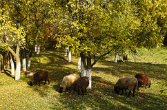 Sheep grazing among the trees Stock Image