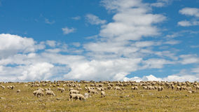 Sheep Grazing on Tundra Royalty Free Stock Photography
