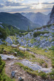 Sheep grazing at upper Krma Royalty Free Stock Images