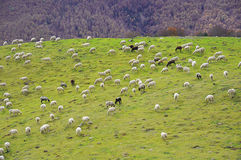 Sheep grazing in the valley Stock Photos