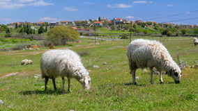 Sheep grazing in village on green grass, assos, canakkale, turkey stock video