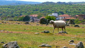 Sheep grazing in village on green grass, assos, canakkale, turkey stock footage