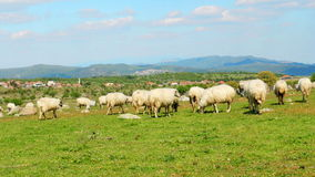 Sheep grazing in village on green grass, assos, canakkale, turkey stock video footage
