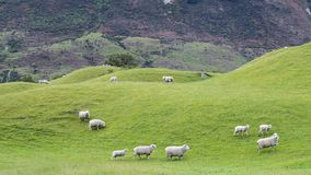 Sheep grazing on gently rolling green hills on the South island of New Zealand stock photo