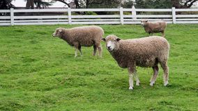 Sheep grazing and walking on grass in fenced off farm area. Sheep grazing and walking on grass in a fenced off farm area stock video