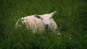 Sheep Grazing In Wild Field. Sheep in wild field with long grass and thistles chews cud and looks up stock video footage